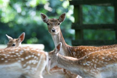 female-deer-7-of-10